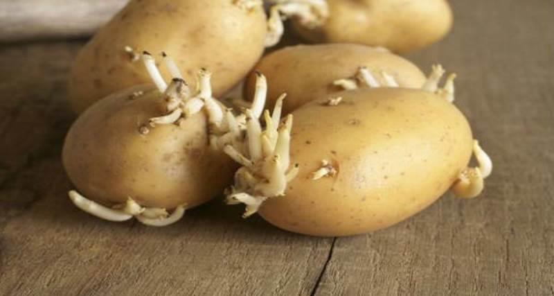 patate germogliate
